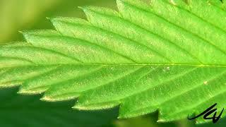 Recreational  Marijuana legalization 4 days away - Early Christmas for Canadians