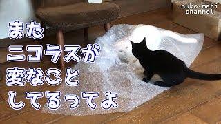 """nuko-mahi(ヌコマヒ)""""since2008 猫との日常、コミュニケーション動画..."""