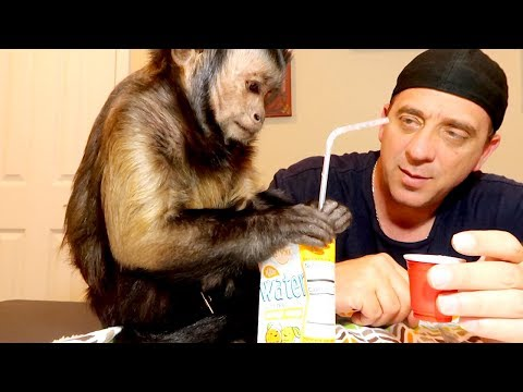 Capuchin Monkey Juice Box!