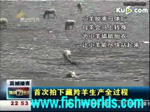 China Tibetan antelope whelp(www.fishworlds.com).mp4