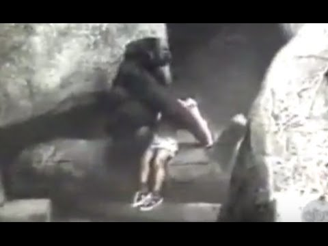 Gorilla Carries 3-Year-Old Boy to Safety in 1996 Incident
