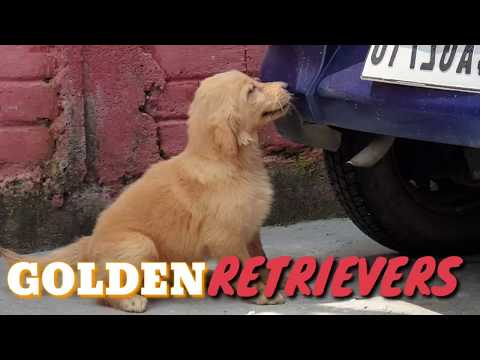 beautiful-quality-golden-retriever-pups-ready-from-boskys-kennel-(siliguri).-retriever-puppies
