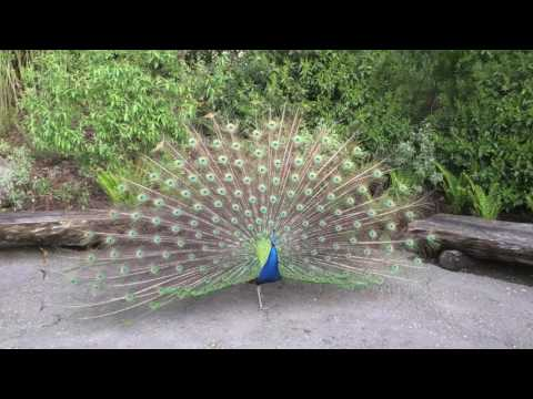 Amazing peacock dances and displays at Zoo Zurich