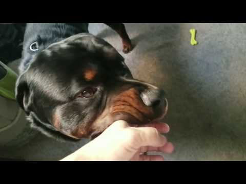 ROTTWEILERS: The Gentle Side
