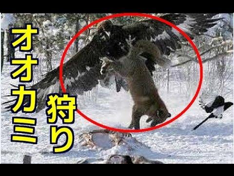 【衝撃映像】ワシでオオカミ狩り!イヌワシの捕食対象が半端ない!猛禽類最強待ったなし!