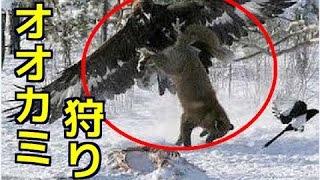 【衝撃映像】ワシでオオカミ狩り!イヌワシの捕食対象が半端ない!猛禽...