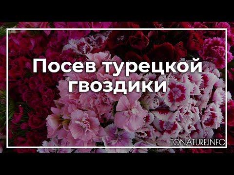 Посев турецкой гвоздики | toNature.Info