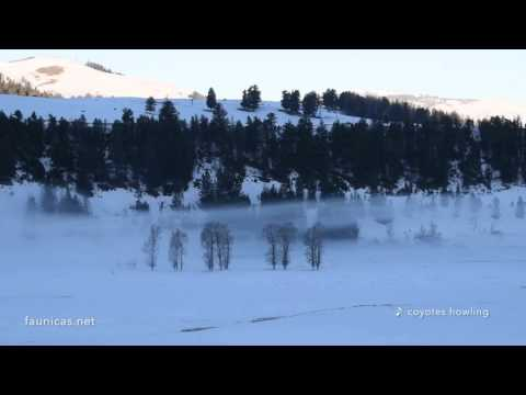 Coyotes howling in Yellowstone