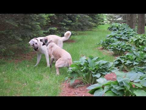 Pups playing in the windbreak