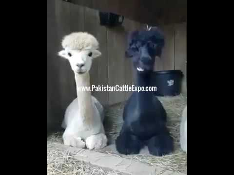 Nayab Nasal Ke Camel | Cute Black & White Camel Breed
