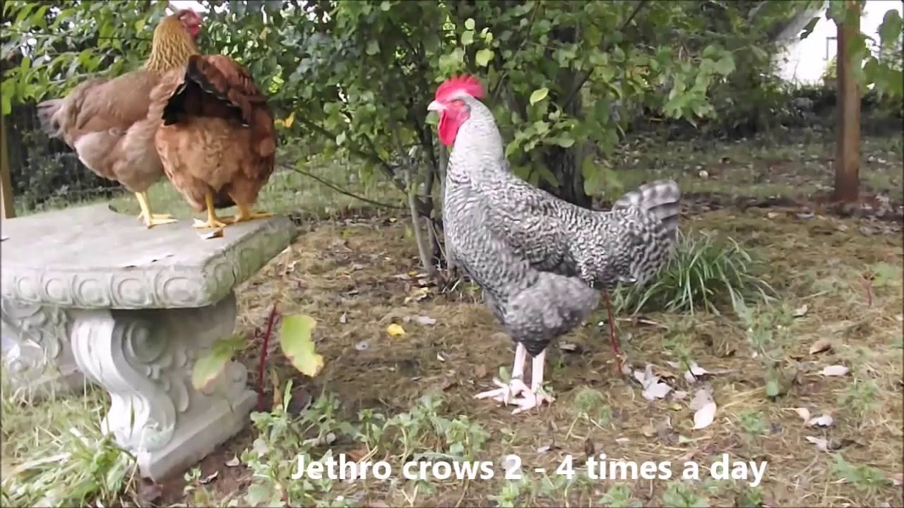 Funny Chicken: Chicken Scream, The Funny Noises Chickens Make