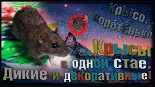 Р Дикие и Декоративные Крысы в одной стае. Выгул и все такое Wild Rats  Fancy Rats