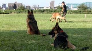 Alex & Max the German Shepherds looks at their brother Pote (Leonbe...