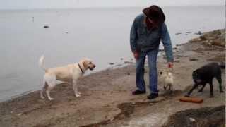 Kirby The Pug Wants To Be A Labrador Retriever