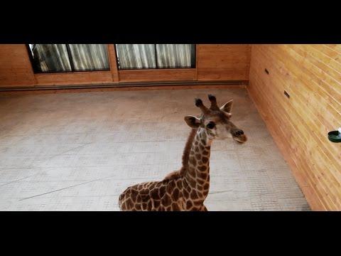 """В зоопарк """"Лимпопо"""" приехал жираф!"""