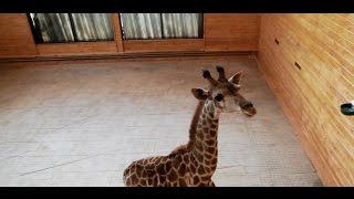 В зоопарк 'Лимпопо' приехал жираф!