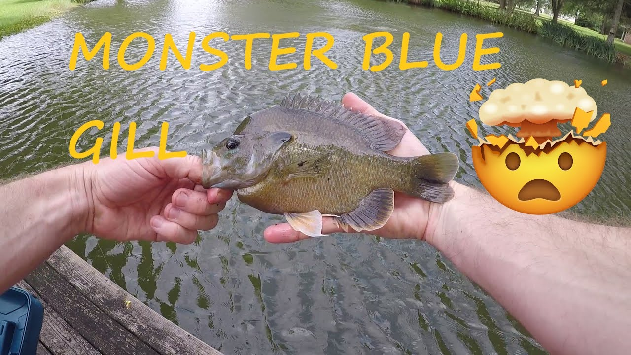 Private Pond Fishing for Monster Blue Gill and Large Mouth Bass