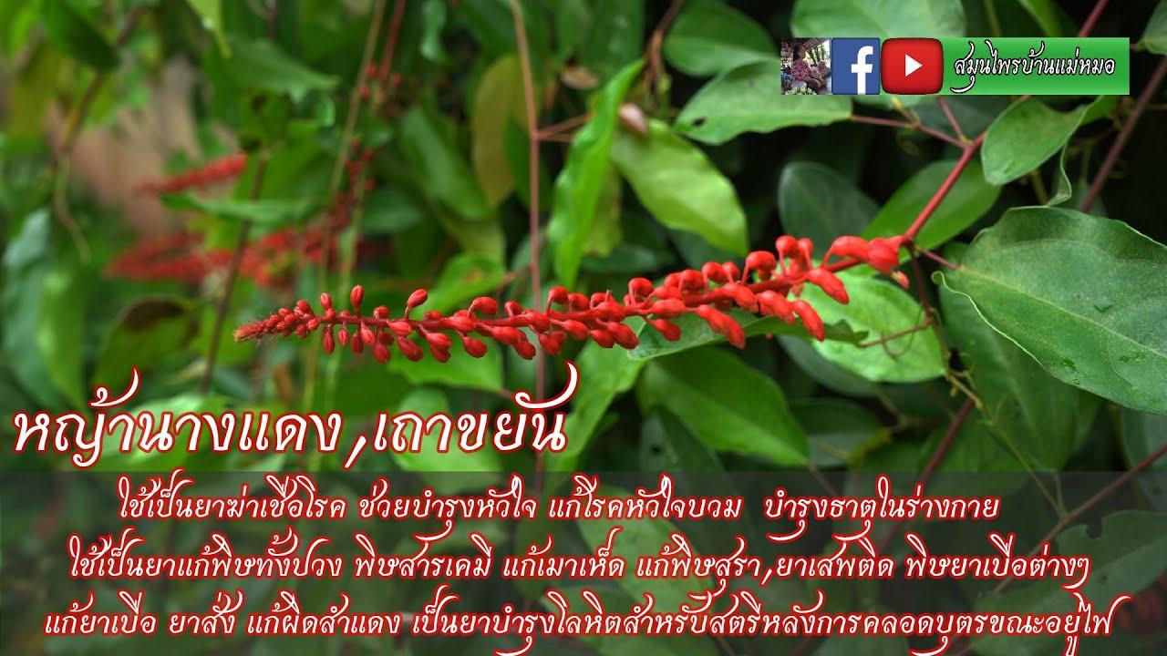 หญ้านางแดง #สมุนไพรบ้านแม่หมอ