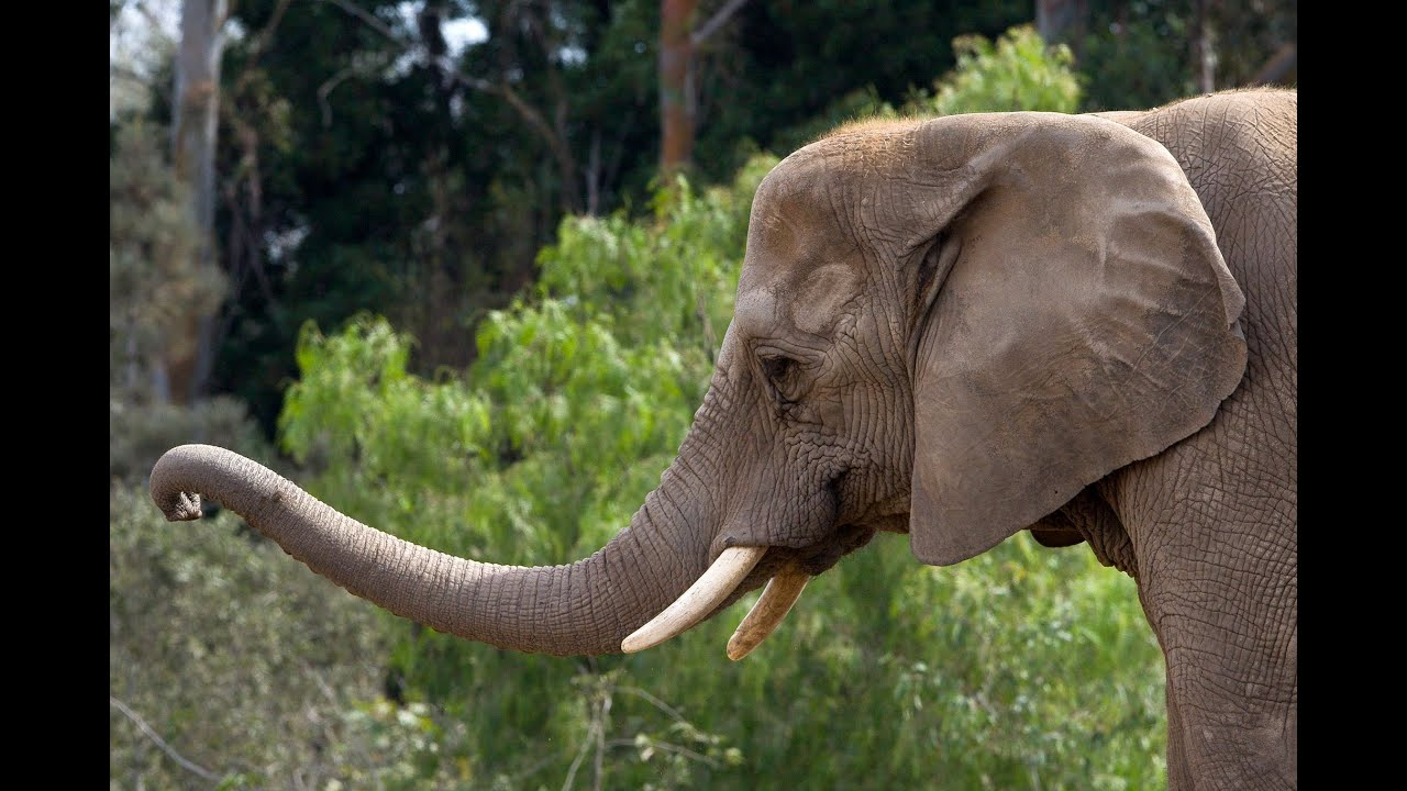 Elderly Asian elephant is euthanized at the National Zoo