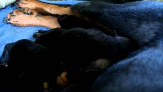 Sweet Rottweiler Mom Sheba Gives Birth To 10 Puppies:  Pups Day 1