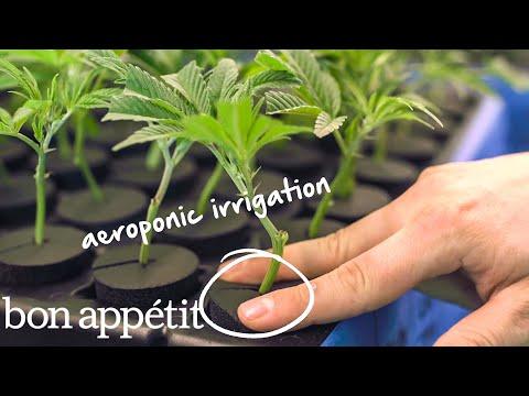 See How the Professionals Grow Marijuana