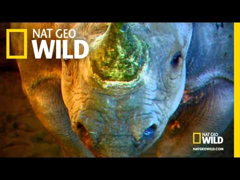 Rhinos Can Fly | Nat Geo Wild