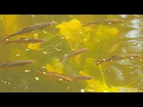 Common Roach Fish, Shoaling In Freshwater