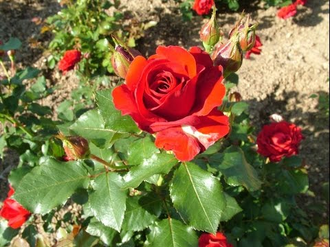 How to grow roses from cuttings urdu hindi youtube - Planting rose shrub step ...