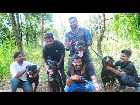 ഭീകരന്മാർ ആയ നായകൾക്കൊപ്പം [ECO OWN MEDIA] Royal Rott Kennel Thrissur (Rottweiler farm)