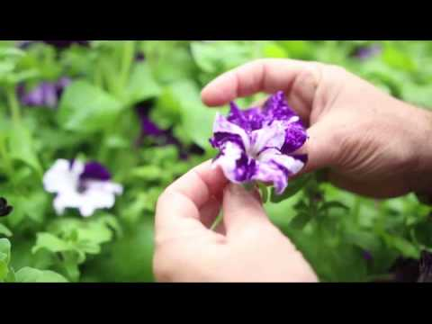 Floral Color and Scent Production at Hebrew University