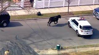 Escaped Bull Roams New York Streets