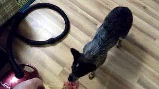 видео Смелый попугай VS трусливый щенок