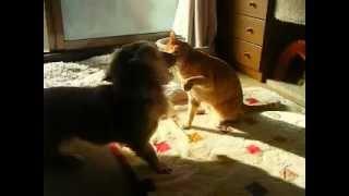 猫のあんずのことが大好きなミニチュアダックスのこむぎ。いつも一緒に...