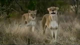 BEST ANIMAL LION VIDIO MP4