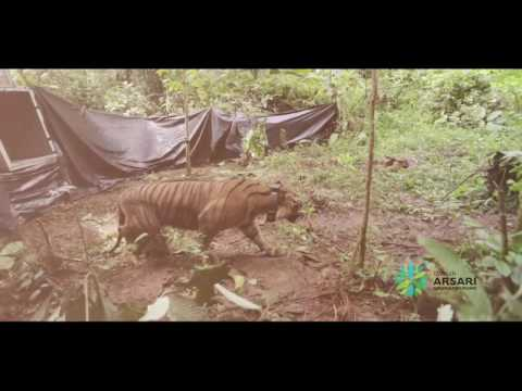 Sumatran Tiger Released August 31, 2016