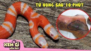 10 Loài Rắn Độc Nhất Việt Nam - Lấy Mạng Trong Tích Tắc | Động Vật Hôm Nay #4