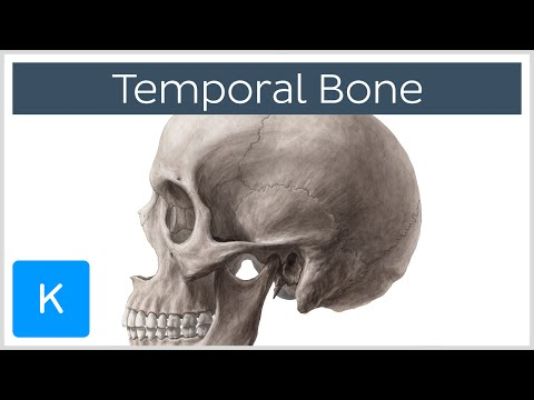 Temporal Bone - Definition, Anatomy and Location - Human Anatomy |Kenhub
