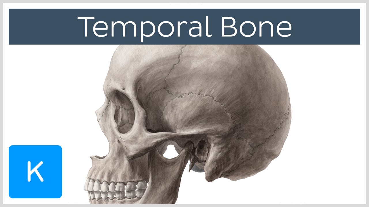 Temporal Bone Definition Location Parts Human Anatomy
