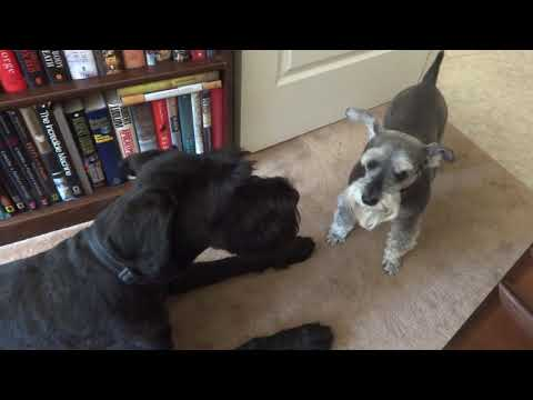 Giant Schnauzer Puppy Playing with Miniature Schnauzer 4