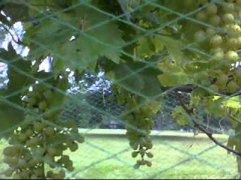 Thompson Seedless Grapes In Louisiana
