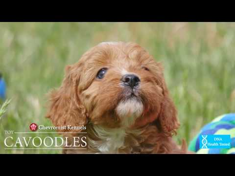 Chevromist Kennels Red Toy CAVOODLES!!!