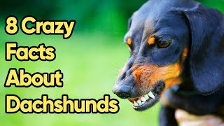8 Crazy Facts About Dachshunds You Need To Know