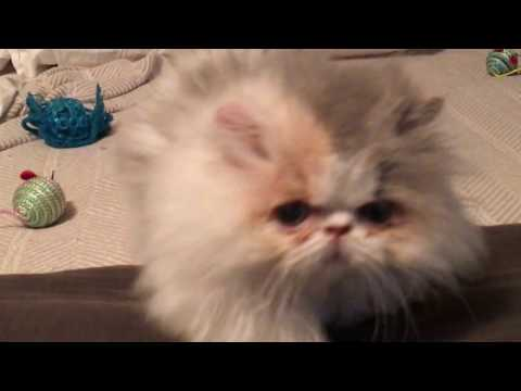 Pippa the minuet (munchkin/Persian) kitten playing on the bed