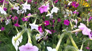 Nicotiana Pastel Blush flower is also bee friendly