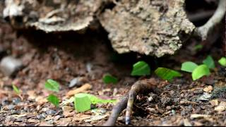 Leaf cutter Ants of Costa Rica