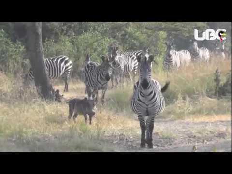 conservation through fine Art Uganda 2017