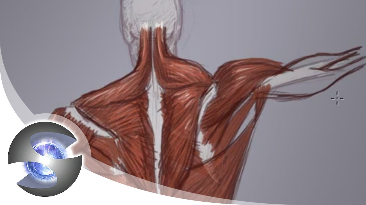 Anatomy of the Upper Back - YouTube