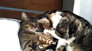 Как коты умываются