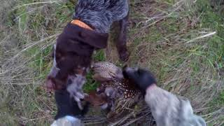Заяц, фазаны, дратхаары, 17 г., ноябрь, Ростовская область.