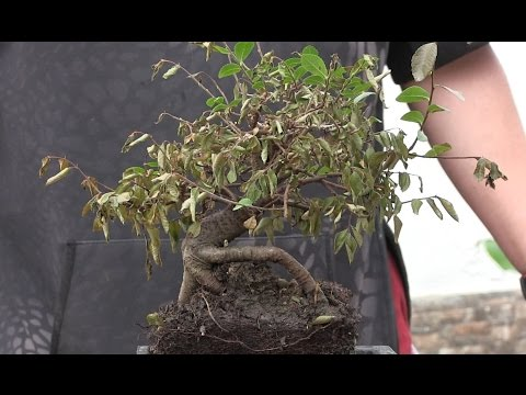 "Mi bonsai se muere - Claves para ""resucitarlo"""